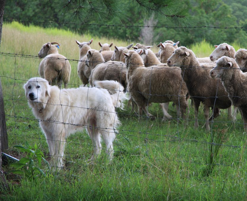 The Christian Flock Needs More Sheepdogs